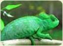 Террариум для хамелеона