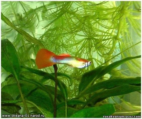 Аквариумные рыбки неприхотливые фото