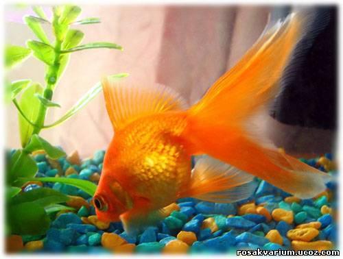 золотые рыбки.  Загадываем желания!